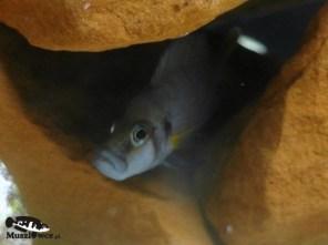 Altolamprologus compressiceps shell Kachese - samiec