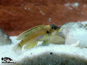 Lamprologus ocellatus - samiec
