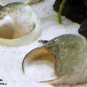 Lamprologus meleagris - młody osobnik około 1 cm