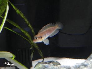 Samica Lamprologus ocellatus - z odłowu