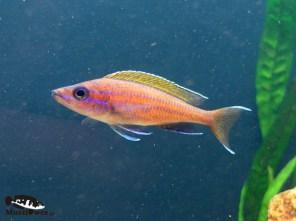 Paracyprichromis nigripinnis blue neon - dominujący samiec