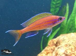 Paracyprichromis nigripinnis blue neon - samiec