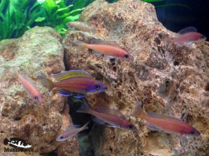 Paracyprichromis nigripinnis blue neon - grupa
