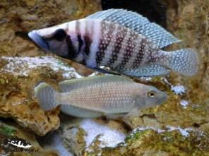 Altolamprologus calvus i Lamprologus callipterus