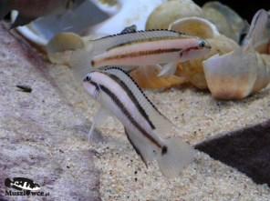 Telmatochromis vitattus shell - samce