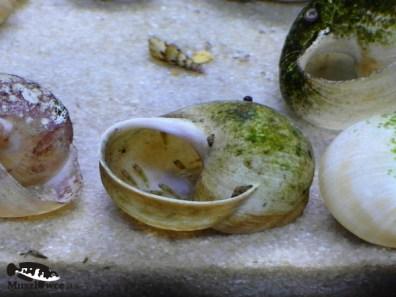 Altolamprologus compressiceps shell Sumbu – narybek