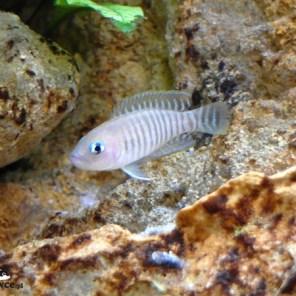 Lamprologus multifasciatus - samica