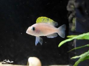 Lamprologus caudopunctatus Kapampa - samica