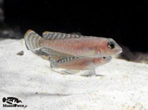 "Lamprologus ornatipinnis ""striped"" - para"