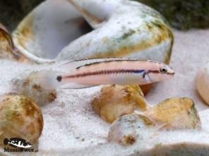 Telmatochromis vitattus shell - samiec