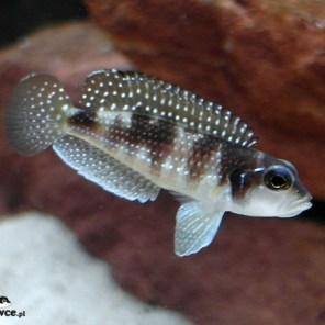Lamprologus meleagris (stappersi) - samica
