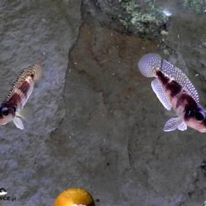 Lamprologus meleagris (stappersi) - para