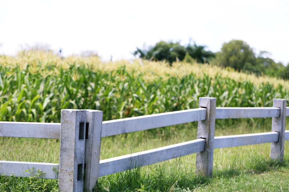 White fence with green corn farm field closeup nature background