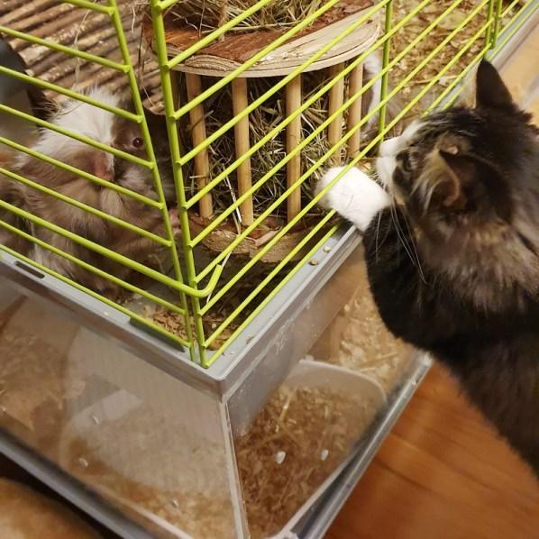Meerschweinchenstall-Erweiterung aus Acrylglas: Katze