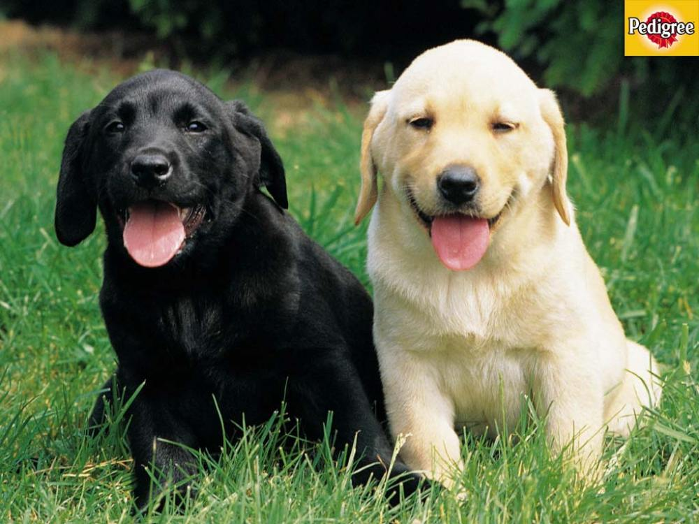 6 More Dog and Puppy wallpapers from Pedigree (5/6)