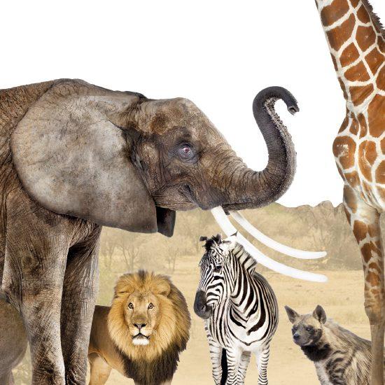 Afrikaanse Dieren Muursticker  2495  Altijd Gratis