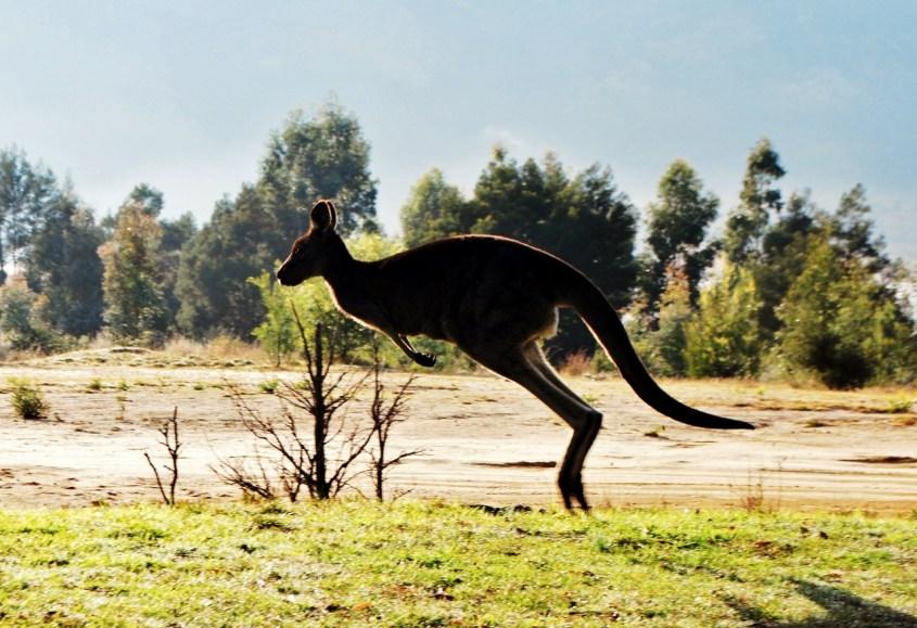 Kenguru Grampiansin kansallispuistossa