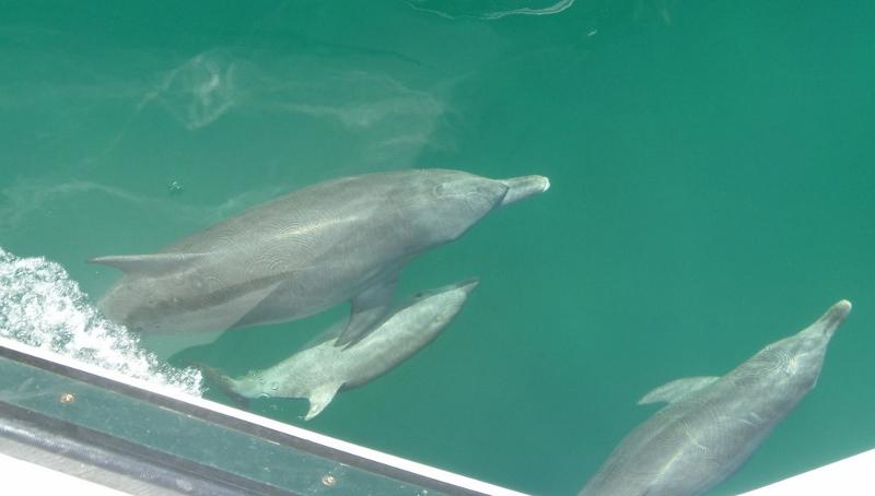 delfiinejä länsi-australiassa