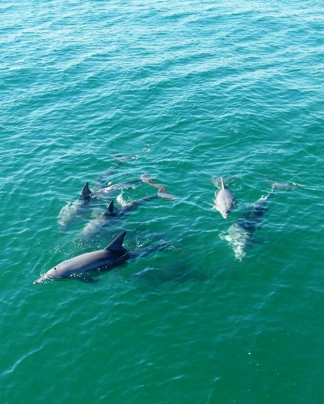 western australia delfiinit