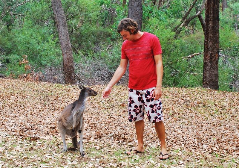 Kenguruita Perthissä
