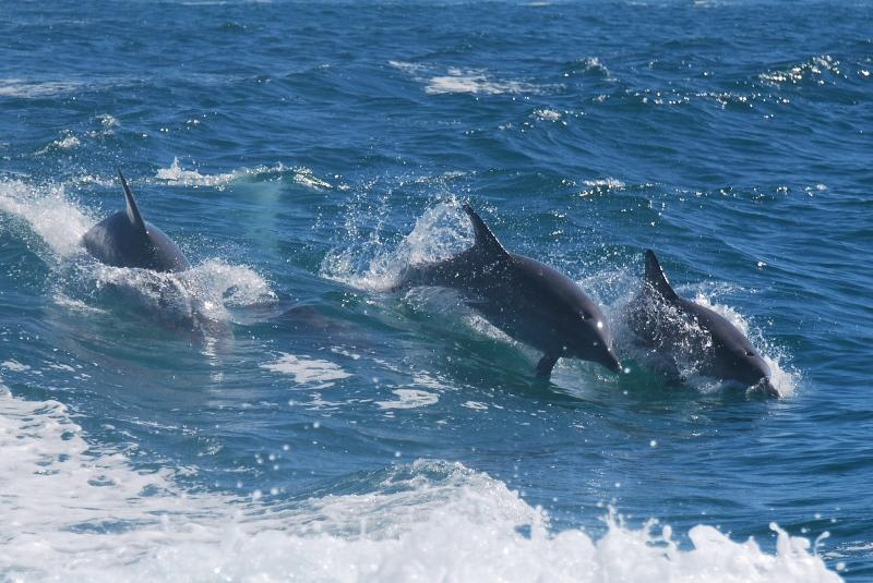 delfiinejä western australiassa