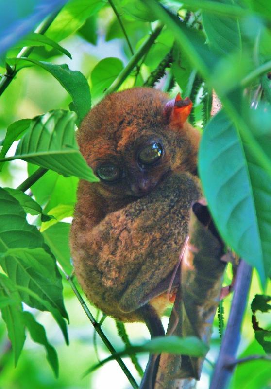 tarsier filippiinit