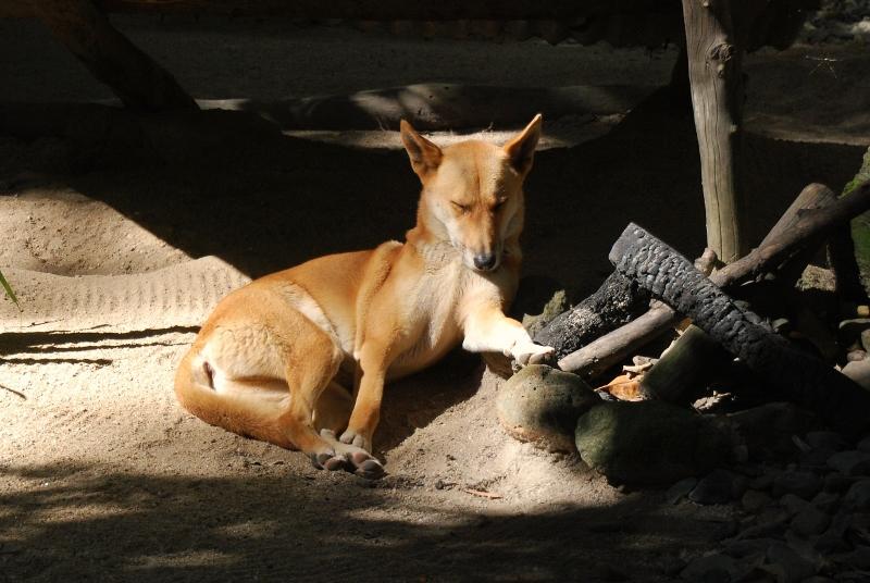 Dingo Cairnsin eläintarhassa