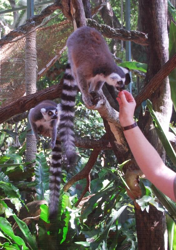 Kissamakeja Cairnsin eläintarhassa