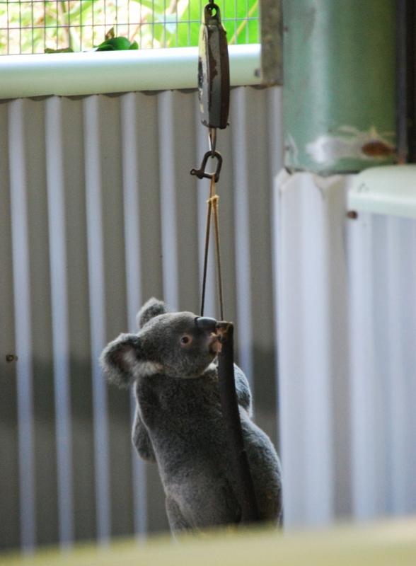 Koala Cairnsin eläintarhassa