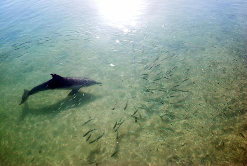 Delfiini Australiassa