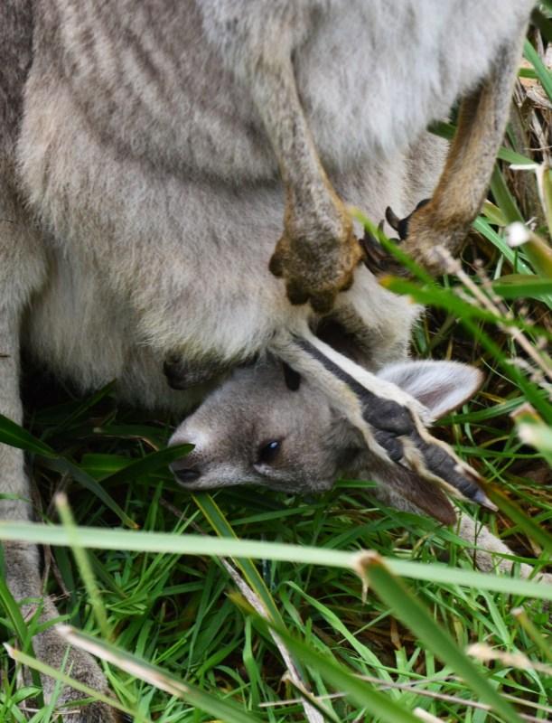 Kenguruvauva Joey pussissaan