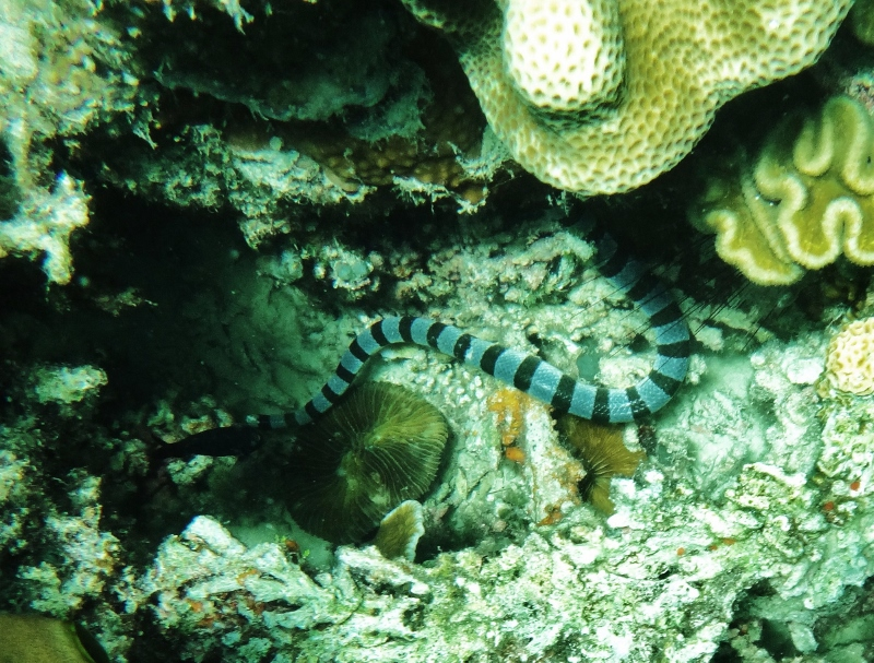 Merikäärme