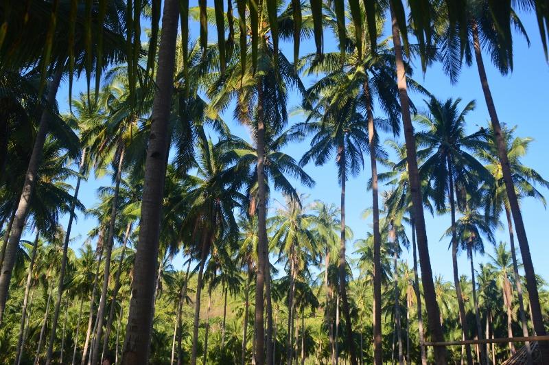Palmurannalla Filippiineillä