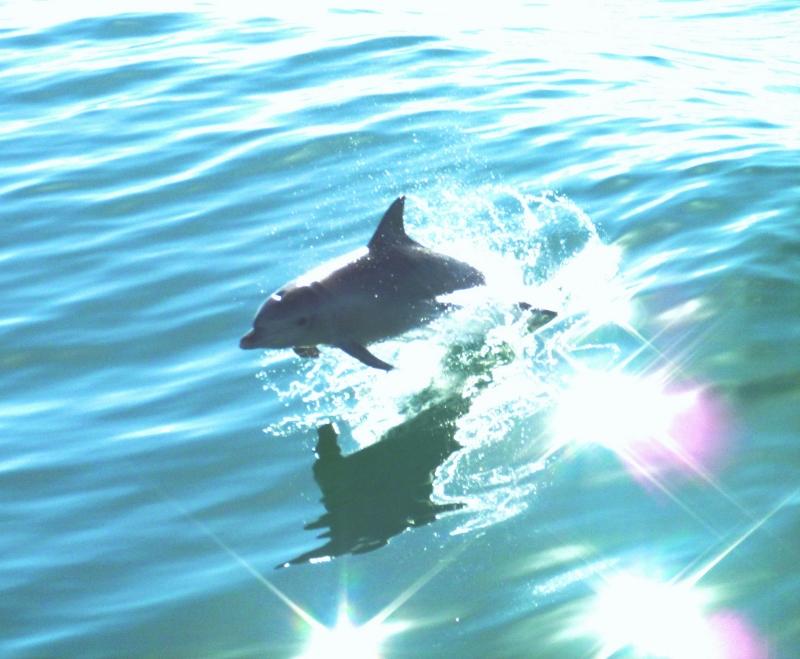 delfiini hyppää