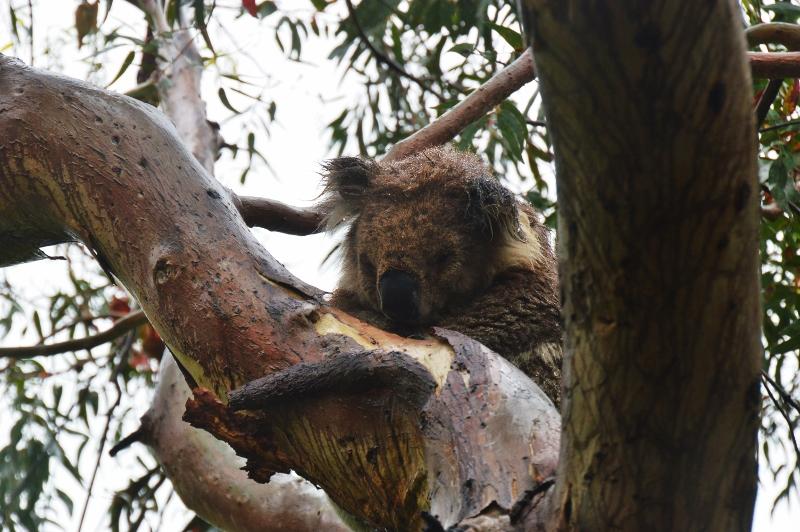 Koala Kennett Riverillä