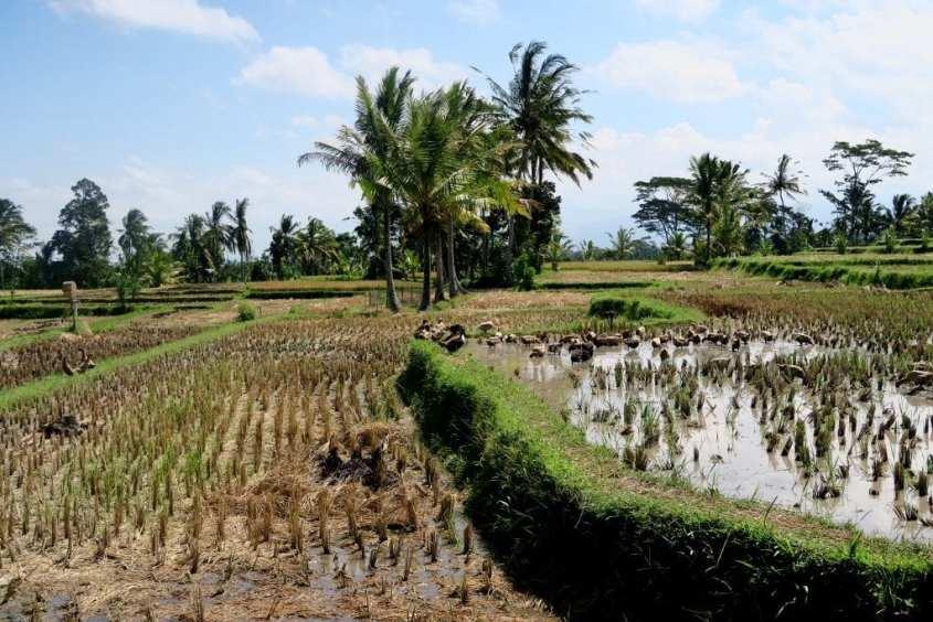 Balin riisiterasseja