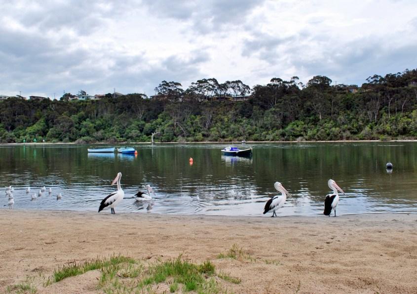 Pelikaaneja Lakes Entrancessa