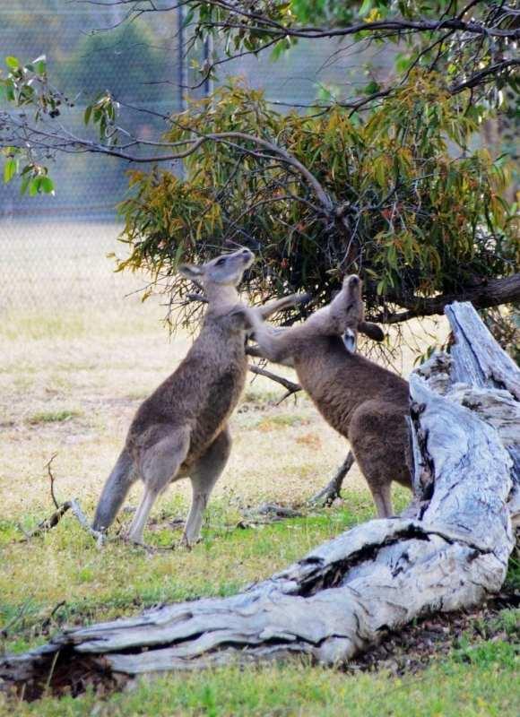 Australian tappavat eläimet
