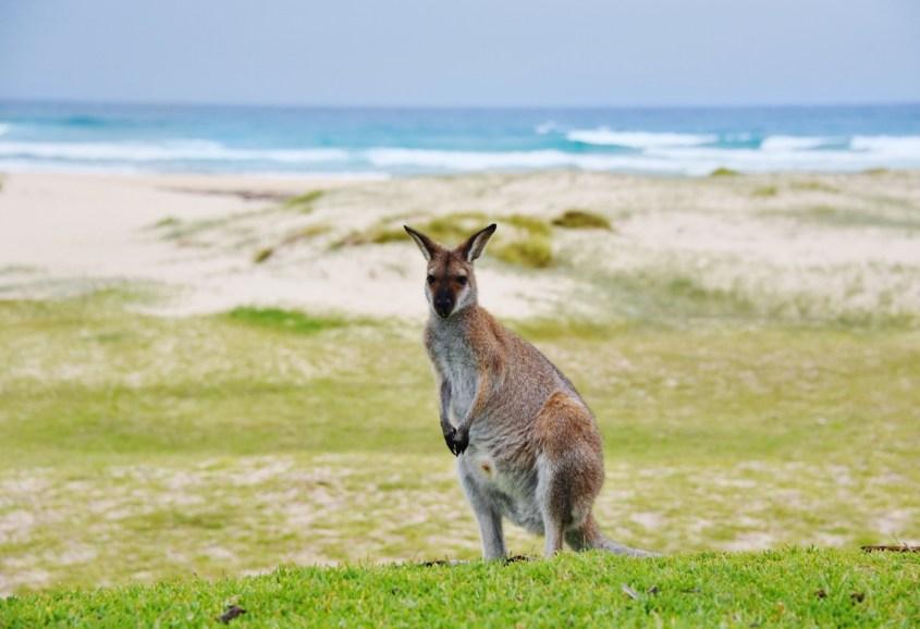 Kenguruita rannalla Australiassa