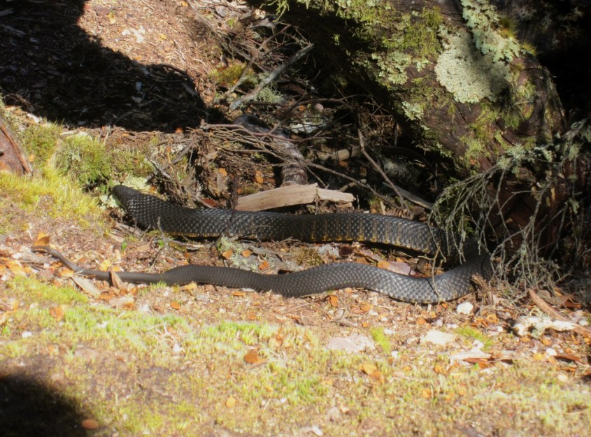 australian myrkylliset käärmeet