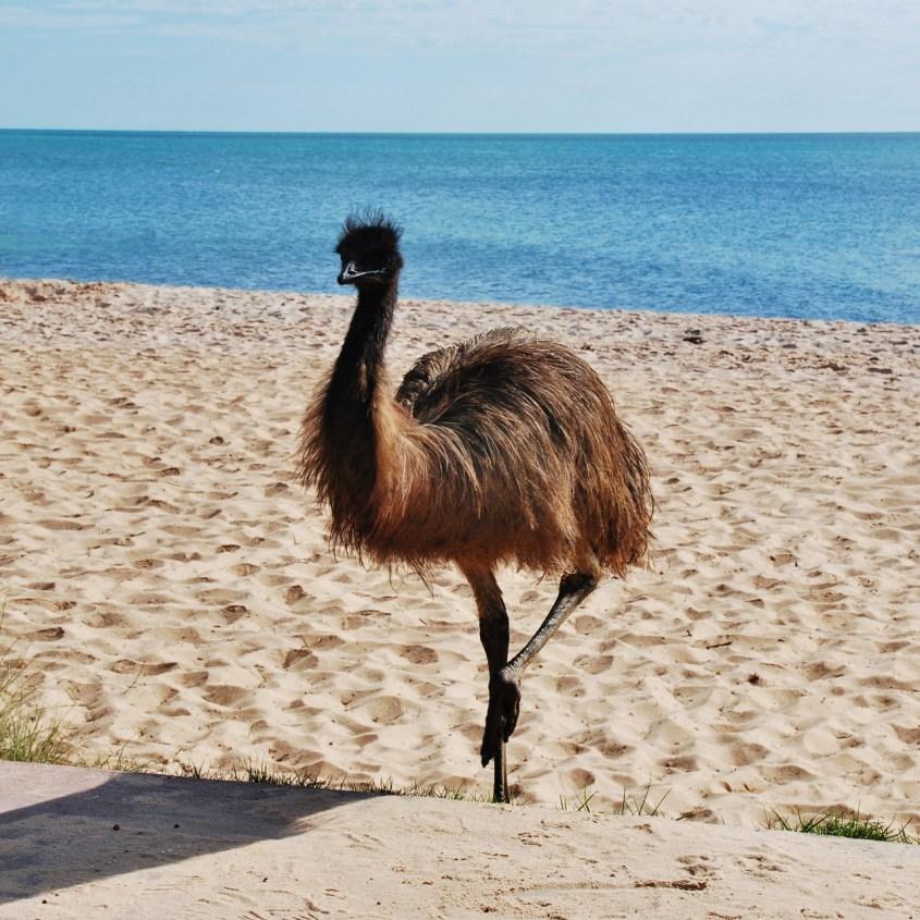 Emu, missä nähdä Australian eläimiä luonnossa