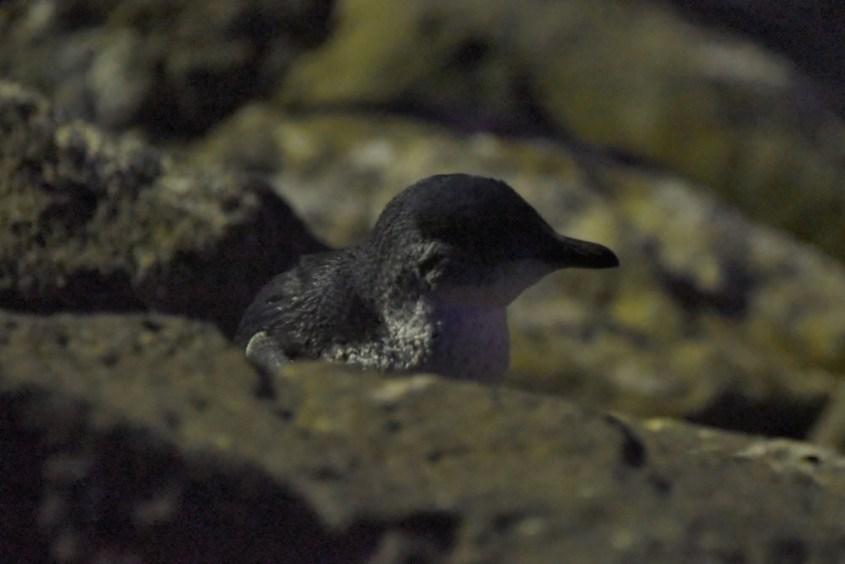 Sinipingviini Australiassa