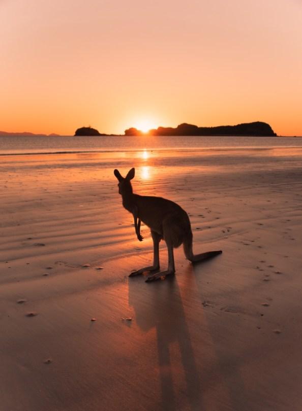 Australia | Kenguru rannalla
