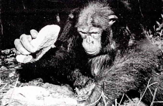 Шимпанзо употребува камен да ги скрши лешниците поставени на поголем камен.