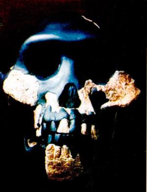 Australopitekus afarensis