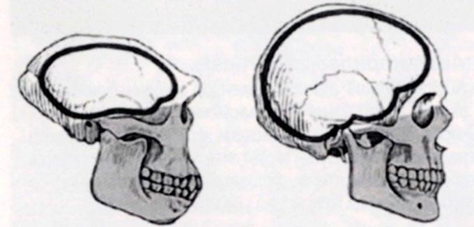 Споредба помеѓу череп од Homo Erektus (лево) и Homo Sapiens (десно)