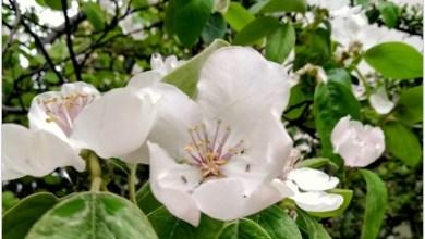 Ayva Çiçek Açmış Melodika Notaları
