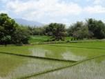 bataan rice paddies