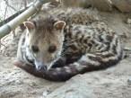 Palawan Civet Cat