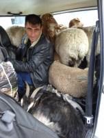Sheep & Goat Lada 4x4